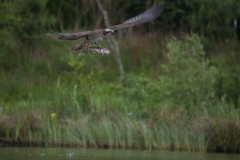 Aviemore Ospreys. Wildlife Photography by Paul McDougall