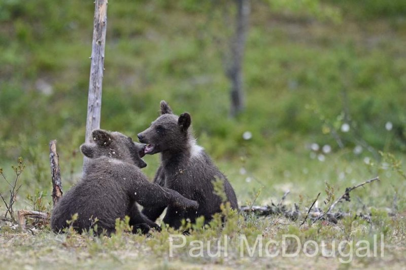 Finland Bears by Wildlife Photographer Paul McDougall
