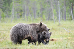 Finland Bears by Wildlife Photographer Paul McDougall