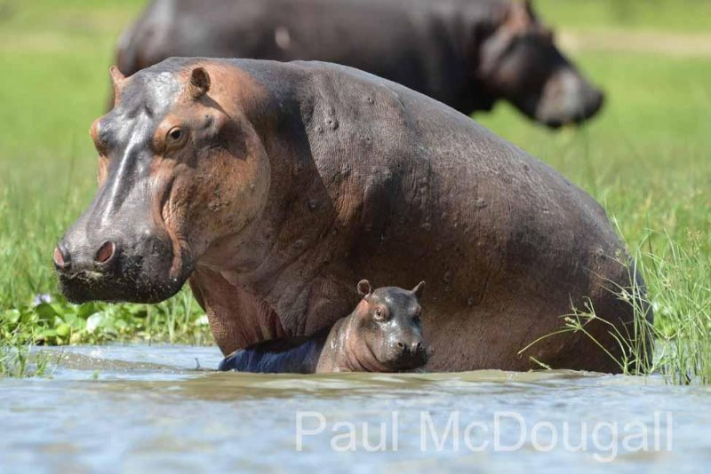 Magical Uganda by Wildlife Photographer Paul McDougall