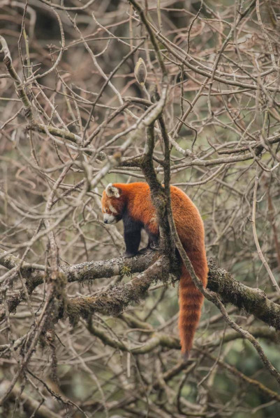 Red Panda by Wildlife Photographer Paul McDougall