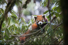 Red Panda by Wildlife Photographer Paul McDougall