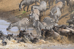 The Great Migration by Wildlife Photographer Paul McDougall