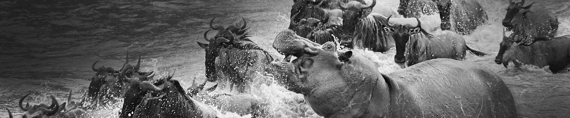 Hippo by Paul McDougall Wildlife Photographer