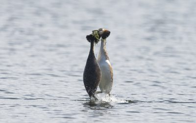 Local Lockdown Project – Great Crested Grebes