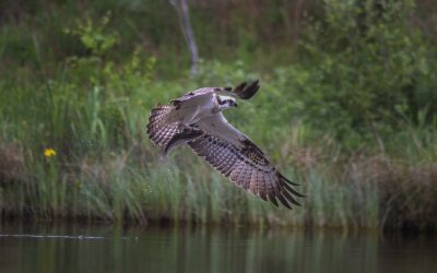 Attempting the seemingly impossible – Photographing Ospreys.