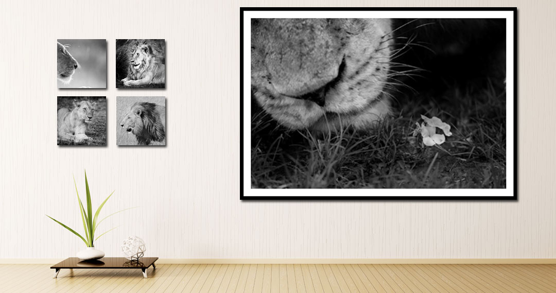 Buying Lion Images and Lion Art